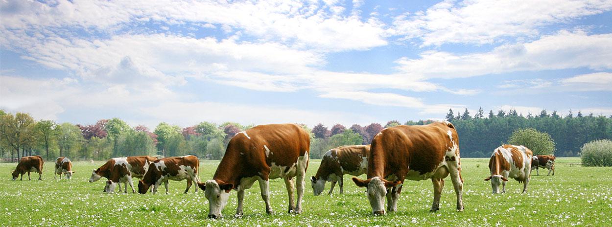 koeien-wei